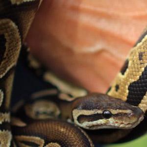 Cameroun,Cameroon : 62 serpents tu�s au lyc�e � Santchou