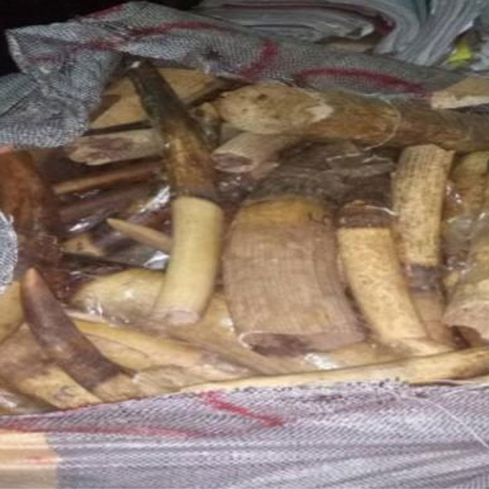 CAMEROUN :: Cameroon: Three arrested for trafficking ivory tusks, parrot heads and pangolin scales