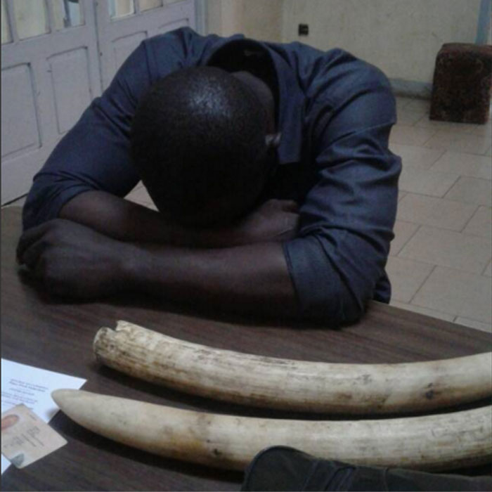 Cameroun: Ivory Traffickers arrested in Yaounde :: CAMEROON
