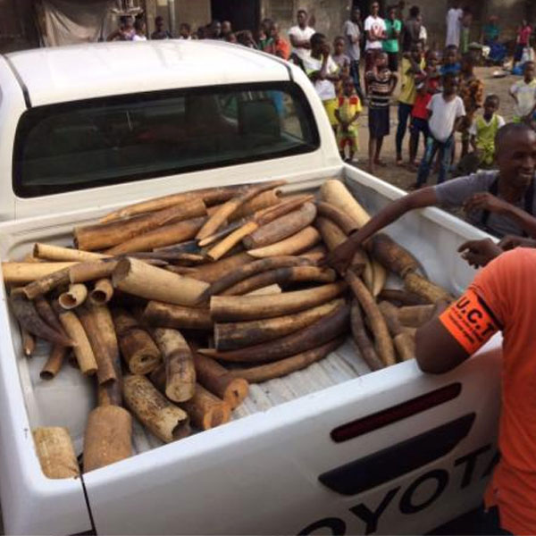 C�TE D'IVOIRE :: Fighting wildlife crime, a Vietnamese kingpin arrested in Ivory Coast :: COTE D'IVOIRE