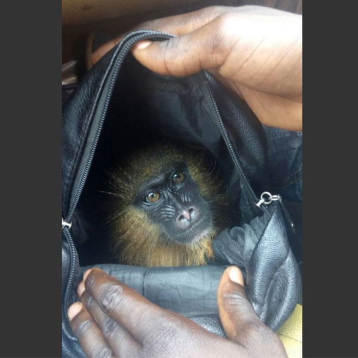 cameroun-cameroon-baby-mandrill-rescued-two-appear-in-court