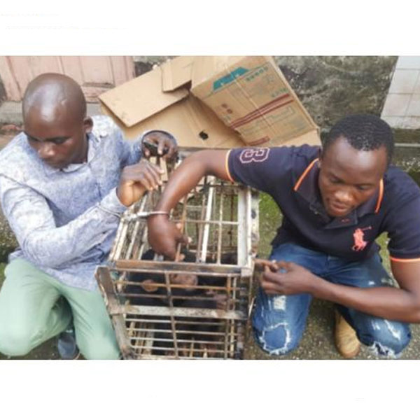 CAMEROUN :: Cameroon: Chimp traffickers Arrested in Douala