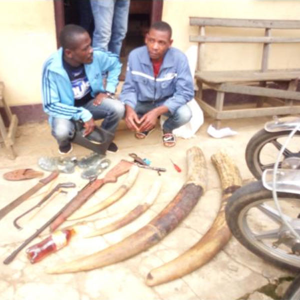CAMEROUN :: Cameroon: Two arrested ; elephant ivory and a gun seized.