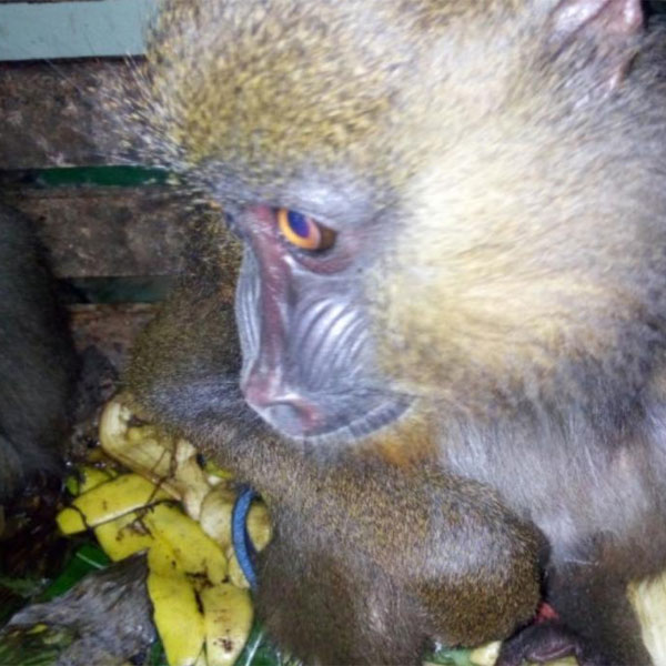 A city council worker arrested with a live Mandrill