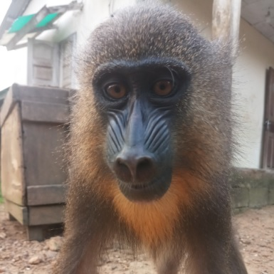 Kribi : A city council worker to appear in court for mandrill trafficking
